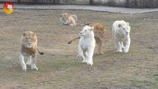 Разноцветные львы :) Тайган.  Multi-colored lions. Taigan.