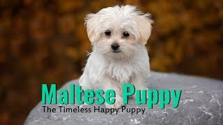 Maltese  Complete Guide For Maltese Dog Owners