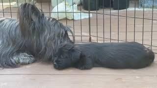 Skye Terrier 'Maggie' Grooming Her 6Week Old Pups