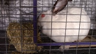 What hay should you feed your rabbit?