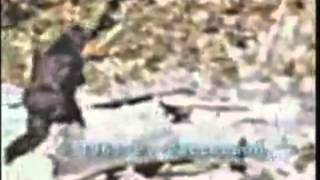 Bigfoot caught on tape (Patterson footage stabilized) thumbnail