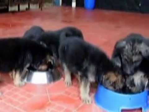 German Shepherd Puppies For Sale Alan Kennel Kerala India Youtube