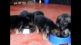 German Shepherd Puppies For Sale, Alan Kennel  Kerala India