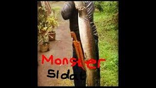 sidat monster, lubang monster, belut monster Mantap Kali...