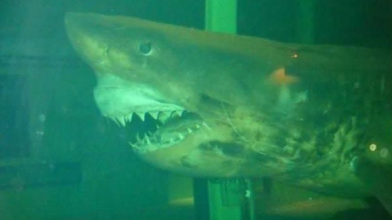 Download The Dark Truth Behind Rosie The Abandoned Great White Shark