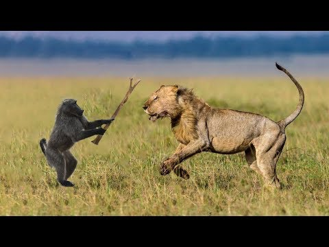 Lion Hunting | Baboon Try To Escape From Lion Hunting But Fail