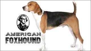 Hola amigos del canal el dia de hoy traemos al american foxhound un...