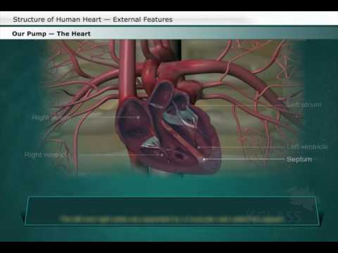 Structure of human heart external features youtube structure of human heart external features ccuart Images