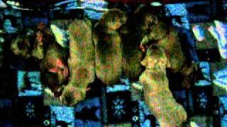 12-4-11 Weimaraner Puppies
