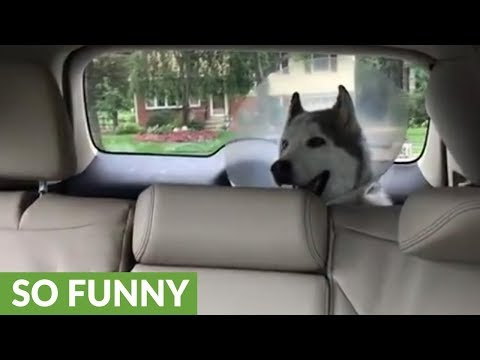 Husky's priceless protest while recovering from anesthesia