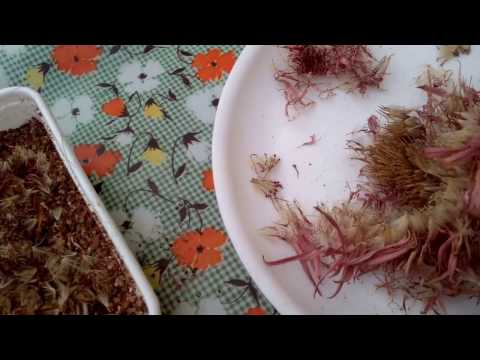 How To Grow GERBERA Plants From SEEDS In (Hindi And Urdu)