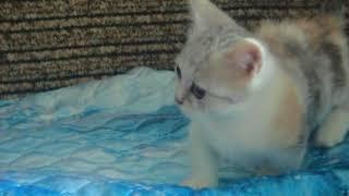 прикольно-котенок с короткими лапками-МАНЧКИН