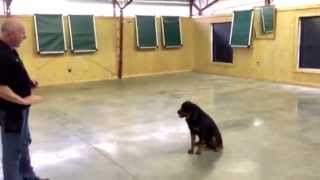 "Rottweiler Male ""quan"" Obedience Protection Trained Home Raised Guard Dog"
