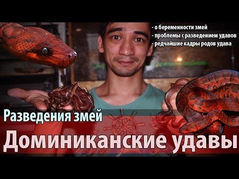 Разведение красных стройных удавов (Chilabothrus Striatus)