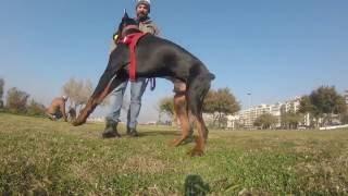Köpek Temel İtaat - İleri İtaat Eğitimi Örnek