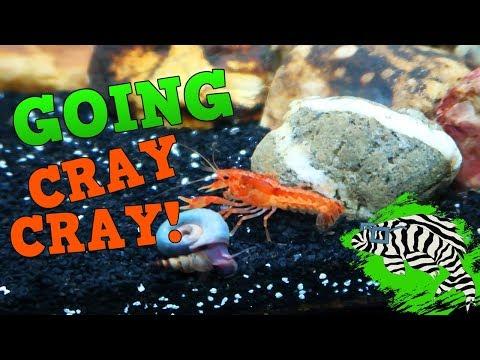 Mexican Dwarf Orange Crayfish - Keeping Feeding and Breeding