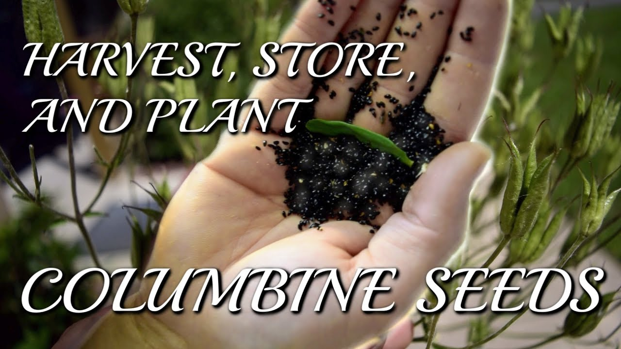 How To Collect Store And Plant Columbine Aquilegia Seeds Youtube