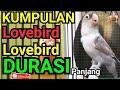 Kompilasi Lovebird Durasi Panjang  Mp3 - Mp4 Download