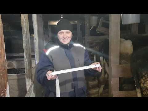 Как в домашних условиях узнать вес коровы