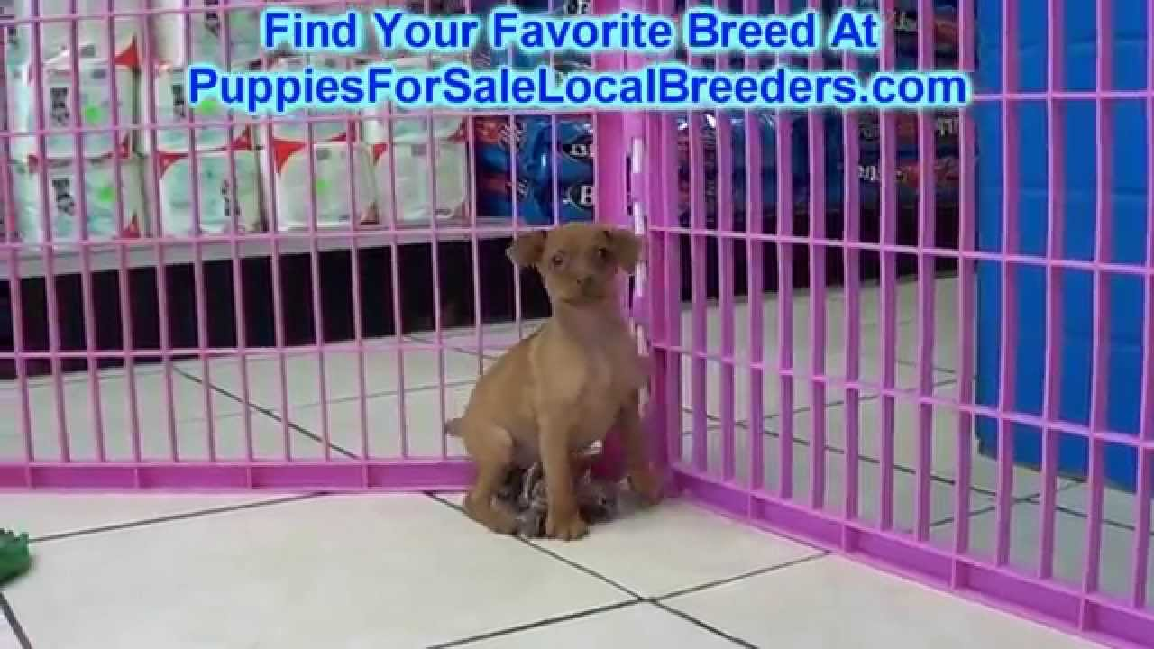Miniature Pinscher, Puppies For Sale, In Winston-Salem, County, North  Carolina, NC, 19Breeders, Apex