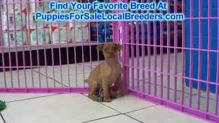 Miniature Pinscher Puppies For Sale Locla Breeders