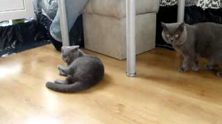 Тушка и Виля - вязка