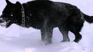 Восточно-европейская овчарка,Тэст видео в формате 4K.