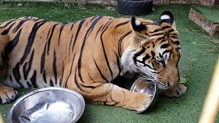 Do tigers like cat food? and thanks for all the great comments and likes !