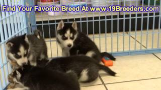 Siberian Husky, Puppies, For, Sale, In, Allegheny, Pennsylvania, Pa, Bucks, Chester, County, Berks,
