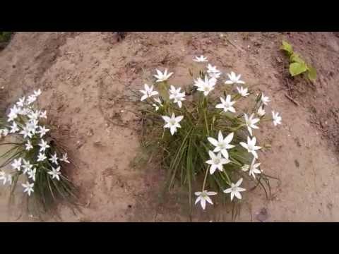 Белый птицемлечник - многолетнее луковичное растение.