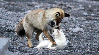 Le renard voulait manger un chat errant, mais quelque chose d'inimaginable s'est produit