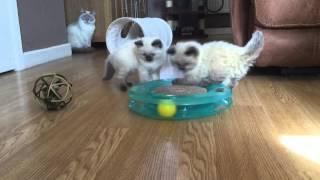 Ragdoll kittens 6 weeks old