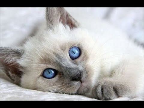 Cutest Kittens  Cute Balinese Kittens Compilation