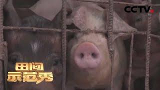 《田间示范秀》 20200325 让猪温暖过冬 CCTV农业
