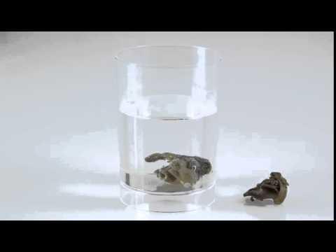 Natural Fishing Bait - Pallatrax Hidra - Rehydrating Black Snail