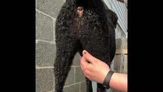 Trimming the CurlyCoated Retriever Rear and Neuter coat