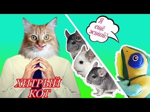 Шиншиллы на прогулке.  Самый хитрый кот на свете. Подарочки для французского бульдога Бони.