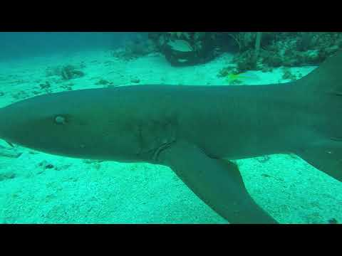 What happens when a Grey Nurse shark thinks it's a puppy.