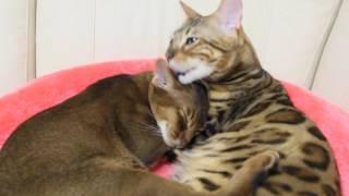 Бенгальский кот ТИМАТИ  и Абиссинский кот АРЧИБАЛЬД