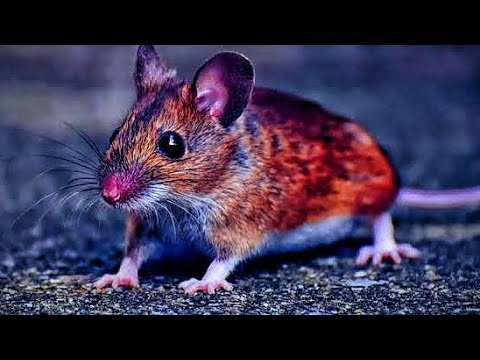 Hantavirus Outbreak In China! Worse Than Coronavirus - YouTube