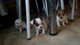 видео продажа щенков в москве