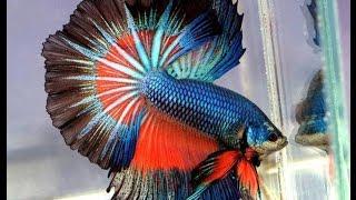Rumble fish!!!!!!!!!!!!! Бойцовая рыбка петушок.
