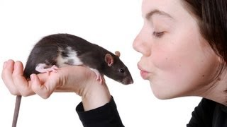 How to Hold a Rąt   Pet Rats