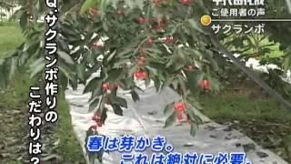 【サンアグロ】千代田化成は「こてらんねー」さくらんぼ編