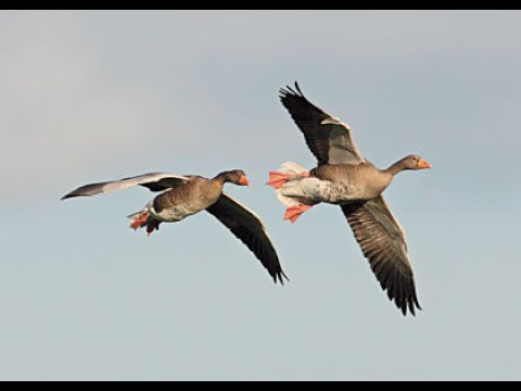 Goose Hunting In Holland