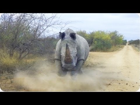 Thumbnail: Rhino CHARGES and Attacks Car | Kruger National Park
