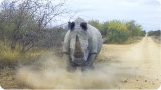 Rhino CHARGES and Attacks Car | Kruger National Park thumbnail