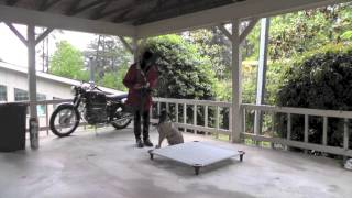 Sit Up N Listen Dog Training: Teaching A Bull Mastiff Puppy To Go To Place
