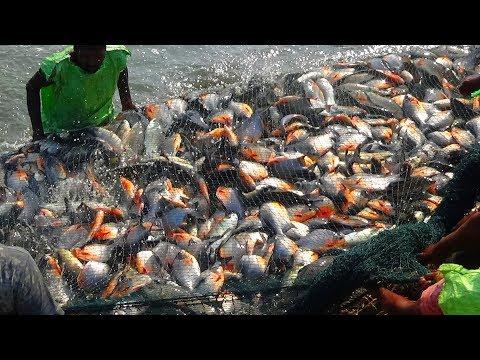 PACU FISH/RUPCHANDA FISH HARVESTING