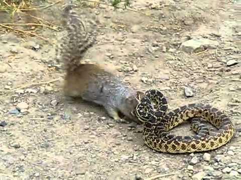 denger snake